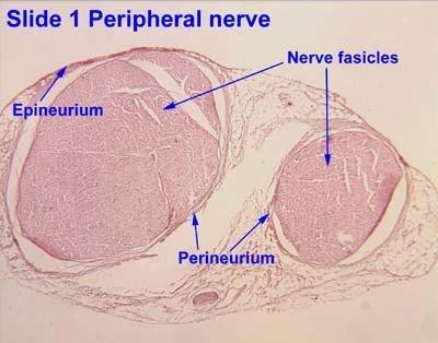 Peripheral Nerve Explained
