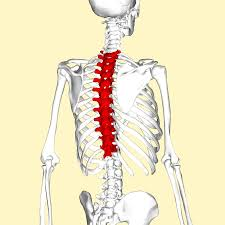 Upper Back Pain Skeletal Model