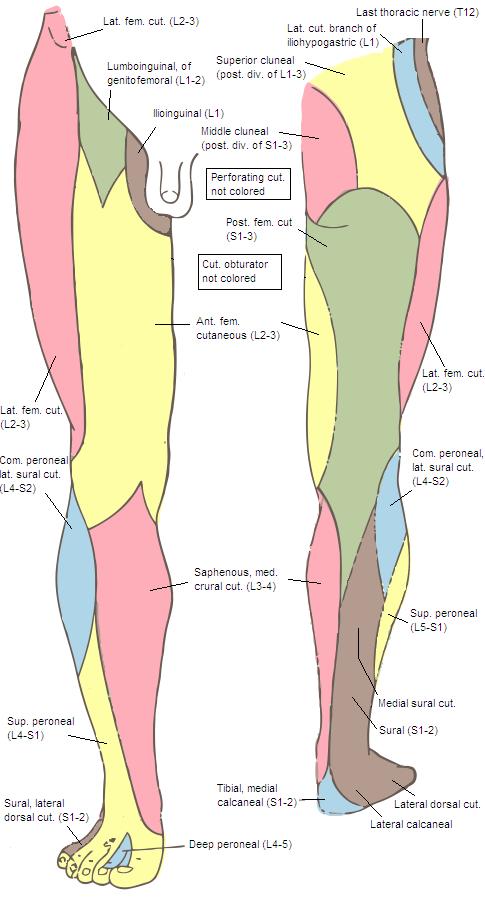 Superior Cluneal Nerves