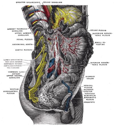 Superior Hypogastric Plexus