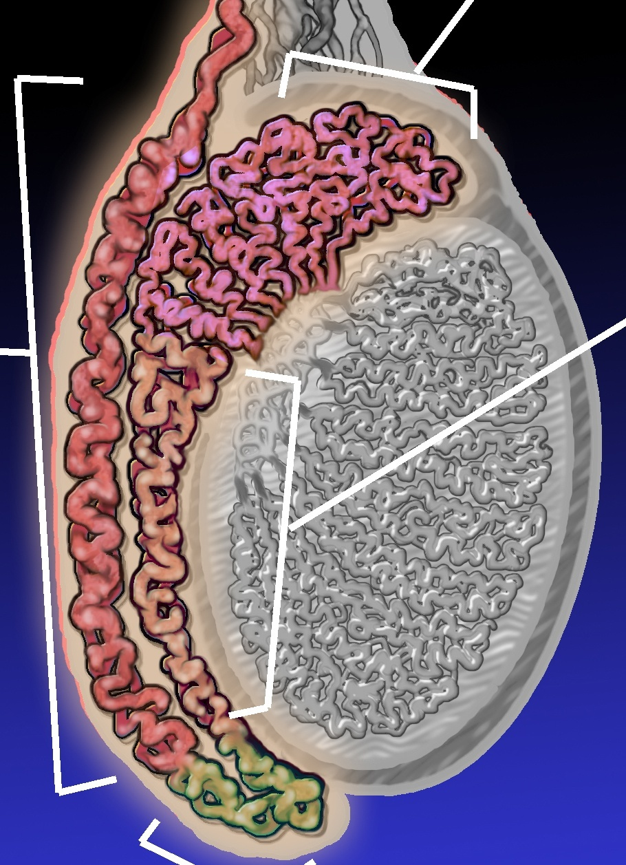 Epididymitis Diagram