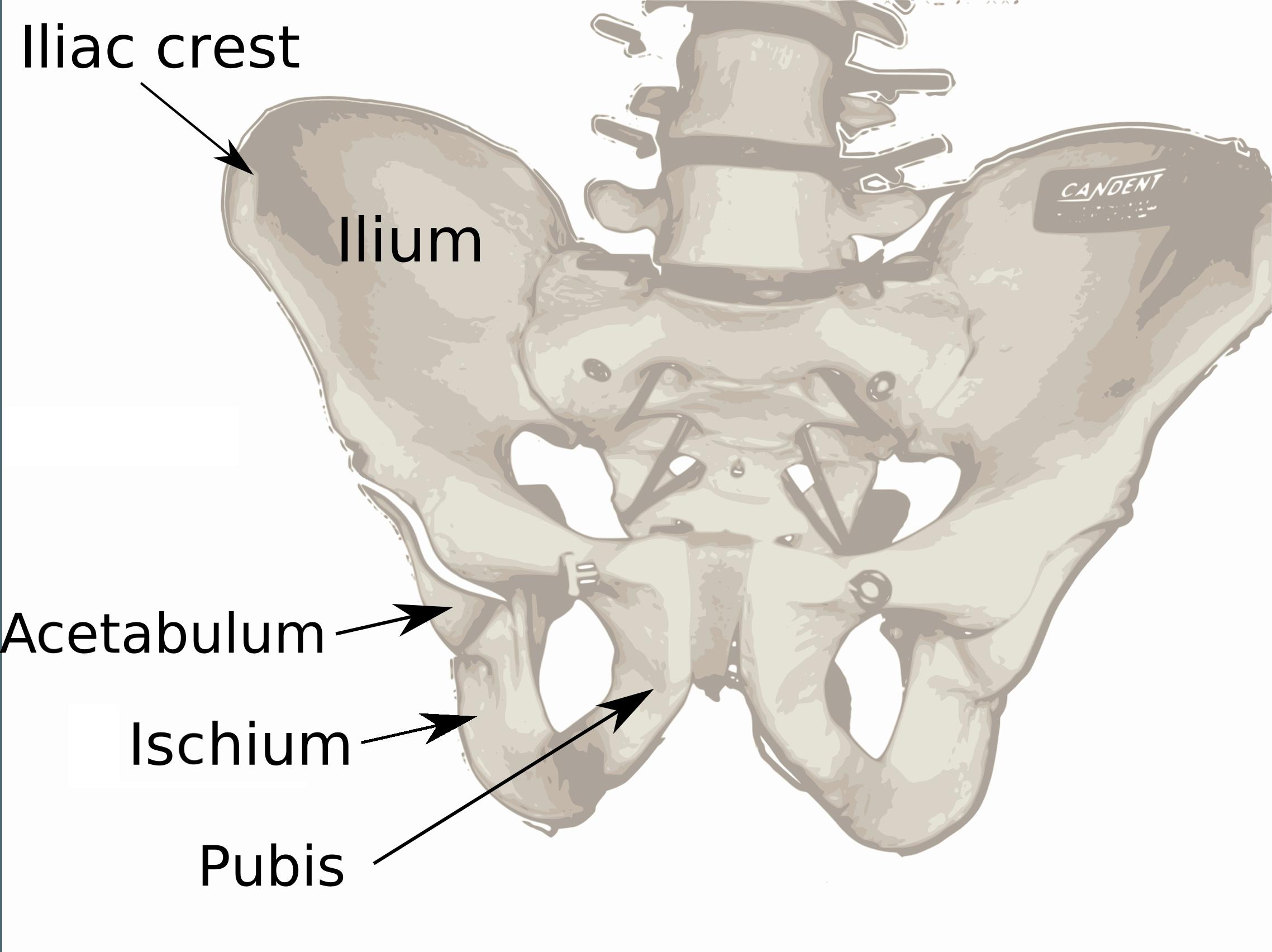 Pelvis Diagram